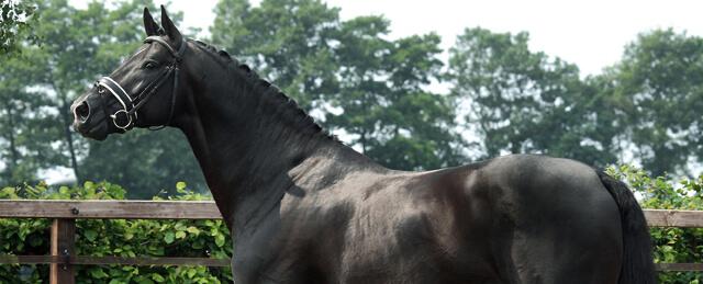 Cavalo de Dressage Totilas